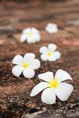 Frangipani (plumeria) flowers on stones — Stock Photo
