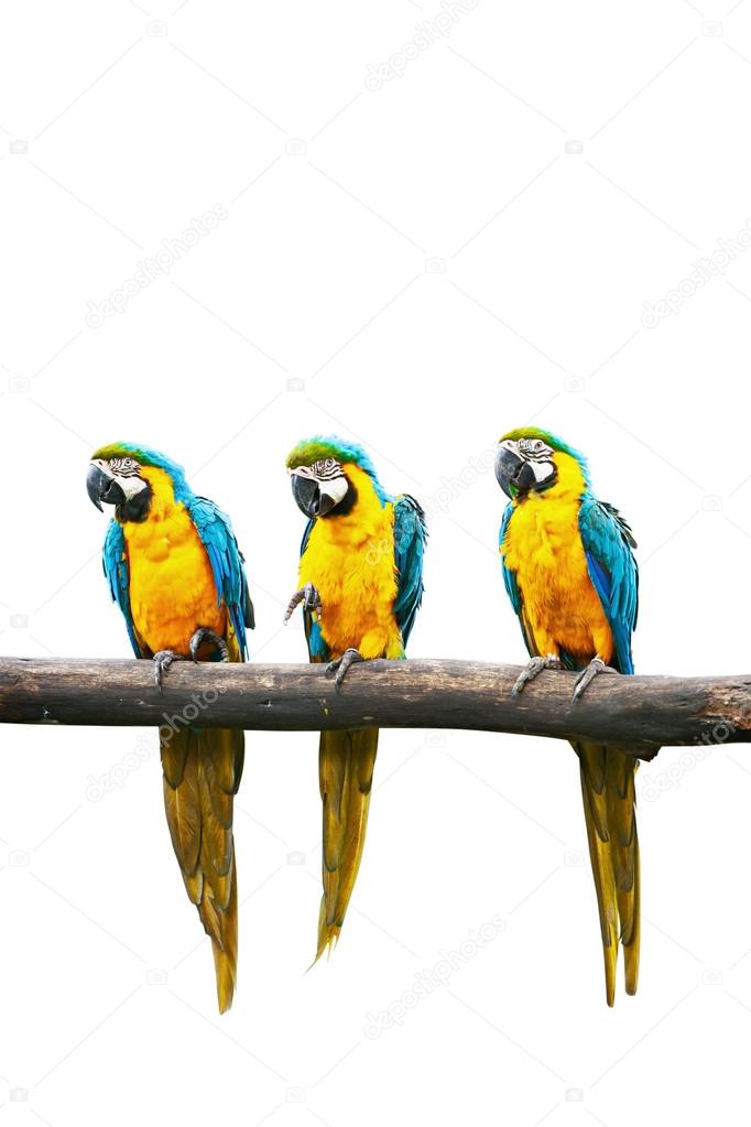 Blue-and-Yellow Macaw (Ara ararauna), also known as the Blue-and-Gold Macaw on branch isolated — Stock Photo #13336172