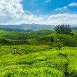 Tea plantations - Stok fotoraf