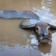 Water buffalo. Vietnam - Stock Photo