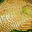 Rice plantations. Vietnam — Stock Photo