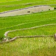 Постер, плакат: Rice plantations Vietnam
