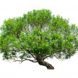 Tree isolated - Stock Photo