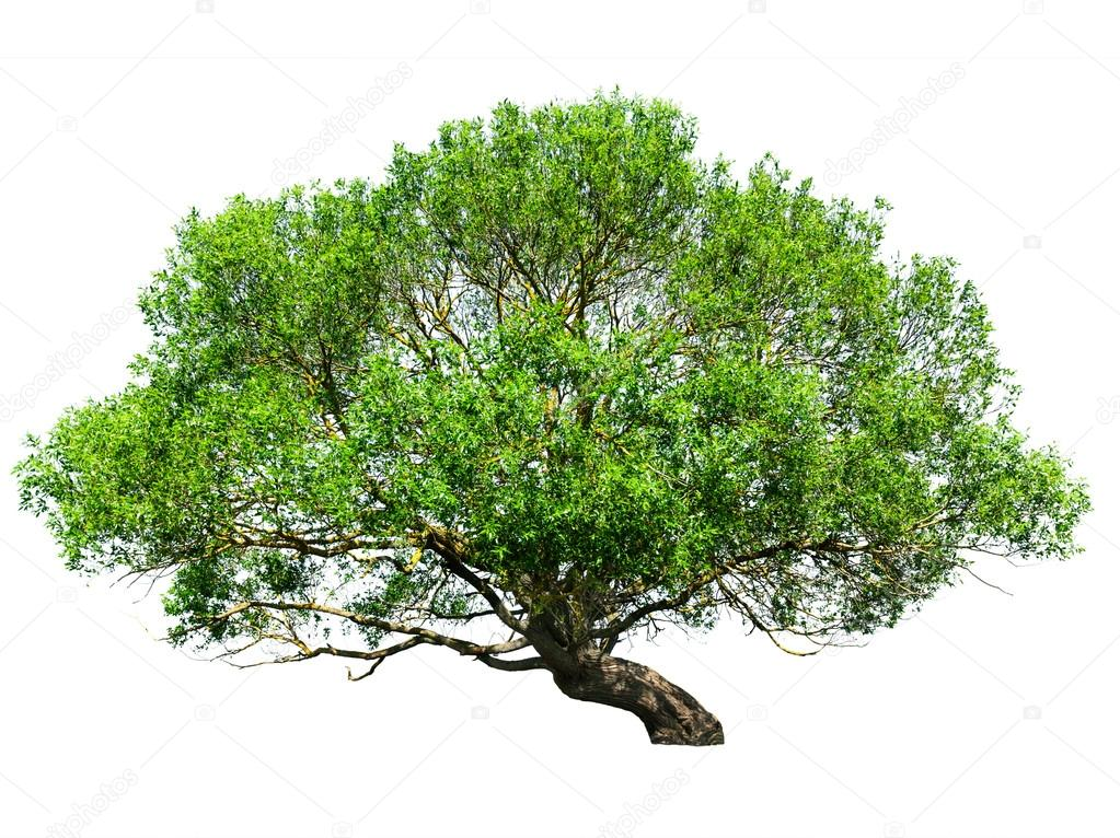 Natural tree isolated on white — Stock Photo #13631969