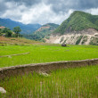 Rice plantations. Vietnam — Stock Photo #25475669