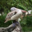 Spot-billed Pelican or Grey Pelican (Pelecanus philippensis) — 图库照片