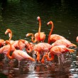 Stock Photo: AmericFlamingo (Phoenicopterus ruber), Orange flamingo