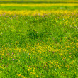 Spring summer background- blooming field - Stock Photo