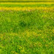 Spring summer background- blooming field — Stock Photo