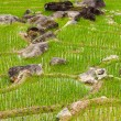 Rice plantations. Vietnam - Stock Photo