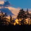 Silhouettes of trees on sunset - Stock Photo