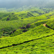 Tea plantations — Stock Photo #25476179