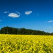 Spring summer background - rape field with blue sky — Stockfoto