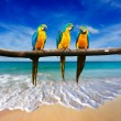 Three parrots (Blue-and-Yellow Macaw (Ara ararauna) also known a — Photo