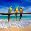 Stock Photo: Three parrots (Blue-and-Yellow Macaw (Arararauna) also known a