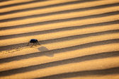 Scarab (Scarabaeus) beetle on desert sand — Stock Photo