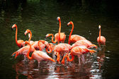 American Flamingo (Phoenicopterus ruber), Orange flamingo — ストック写真