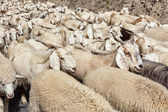 Herd of Pashmina sheep and goats in Himalayas — Stock Photo