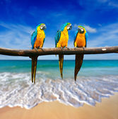 Three parrots (Blue-and-Yellow Macaw (Ara ararauna) also known a — Stockfoto
