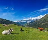 Krowy na pastwisku w himalajach — Zdjęcie stockowe