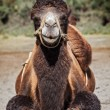 Camel in Nubra vally — Stock Photo