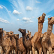 Camels at Pushkar Mela, India — Stock Photo #34470735