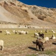 Stock Photo: Sheep and goats in Himalayas