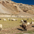 Sheep and goats in Himalayas — Stock Photo