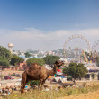 Camels at Pushkar Mela, India — Stock Photo