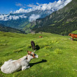 Cows grazing in Himalayas — Stock Photo