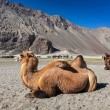 Stock Photo: Camel in Nubrvally, Ladakh