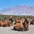 Stock Photo: Camels in Nubrvally, Ladakh