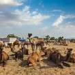Camels at Pushkar Mela — Foto Stock
