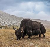 Yak grazing in Himalayas — Stock Photo