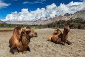 Camel in Nubra vally, Ladakh — Stock Photo