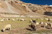 Ovejas y cabras en himalaya — Foto de Stock