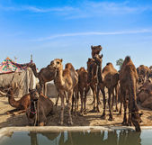 Kamele in Pushkar Mela, Indien — Stockfoto