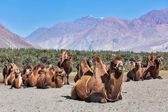 Camels in Nubra vally, Ladakh — Stock Photo