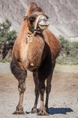 Camel in Nubra vally, Ladakh — Stock Photo