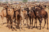 Camels at Pushkar Mela, India — Stock Photo