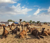 Camels at Pushkar Mela — Stock Photo