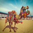 Camel at Pushkar Mela, Rajasthan, India — Stock Photo