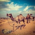 Camels at Pushkar Mela (Pushkar Camel Fair),  India — Stock Photo #44919755