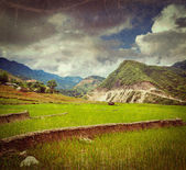 Rice plantations. Vietnam — Stock Photo