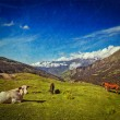 Cows grazing in Himalayas — Stock Photo #44921145
