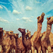 Camels at Pushkar Mela (Pushkar Camel Fair), India — Stock Photo #44921879