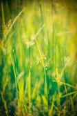 Green grass - shallow depth of field — Stock Photo