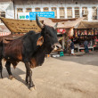 Постер, плакат: Indian cow in the street of India