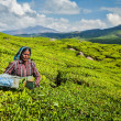 Indian woman harvests tea leaves at tea plantation at Munnar — Stock Photo
