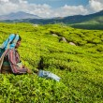 Постер, плакат: Indian woman harvests tea leaves at tea plantation at Munnar